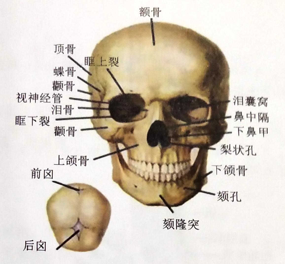 美发知识之骨骼与肌肉